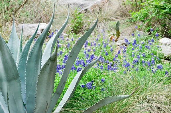 Photograph - Texas Bluebonnets by Cheryl McClure