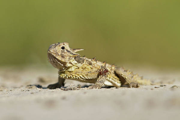 Brown County Photograph - Texas Horned Lizard (phrynosoma Cornutum by Larry Ditto