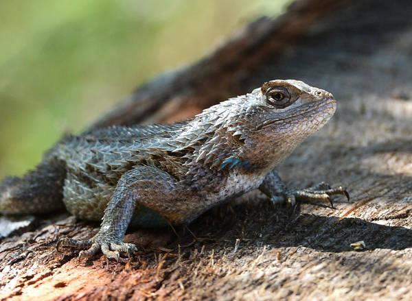Photograph - Texas Lizard by John Johnson