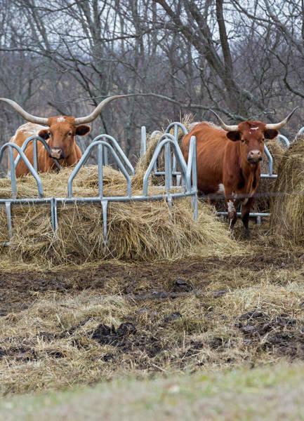 Texas Longhorn Cattle At A Hay Feeder Art Print