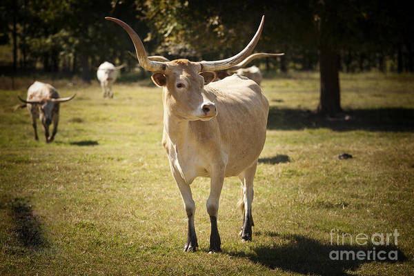 Photograph - Texas Longhorn Cattle Front View In Color 3093.02 by M K Miller