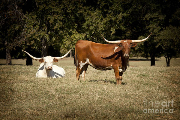 Photograph - Texas Longhorn Cattle Relaxing In A Field In Color 3098.02 by M K Miller