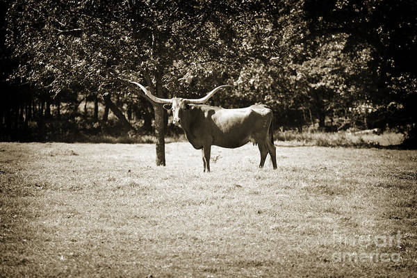 Photograph - Texas Longhorn Cattle Standing In A Pasture In Sepia 3096.01 by M K Miller