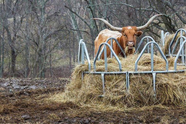 Texas Longhorn Cow At A Hay Feeder Art Print