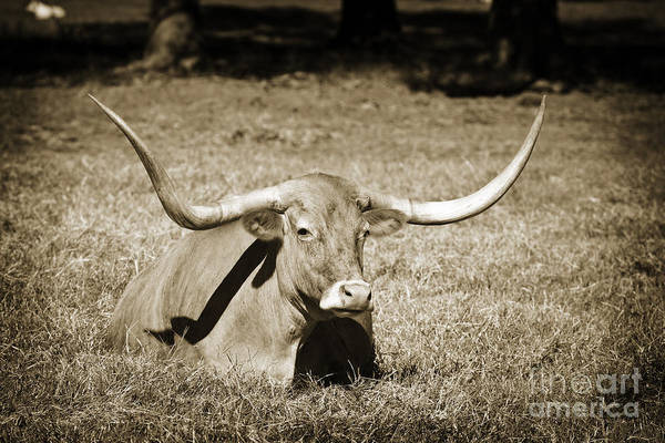Photograph - Texas Longhorn Cow Sitting In A Field In Sepia 3101.01 by M K Miller