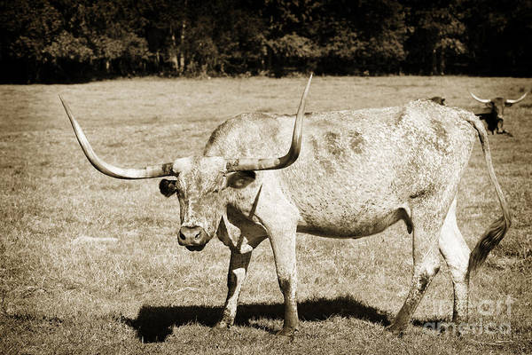 Photograph - Texas Longhorn Cow Standing In A Field In Sepia 3100.01 by M K Miller