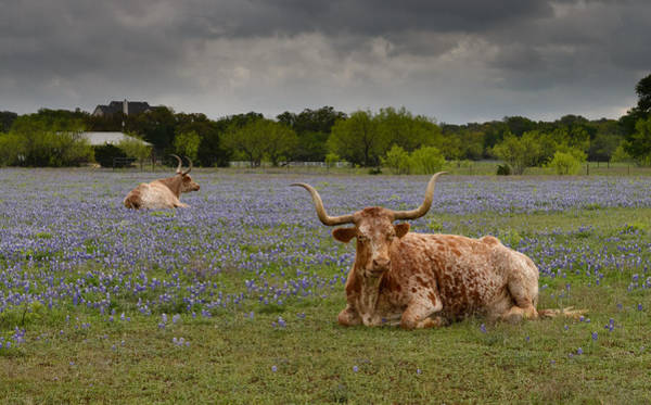 Photograph - Texas Longhorns by John Johnson