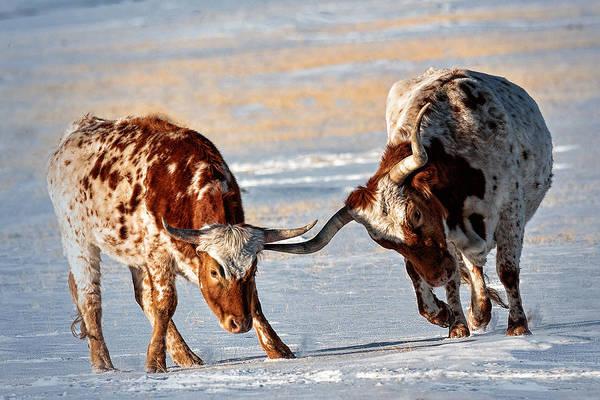 Photograph - Texas Longhorns by OLena Art Brand