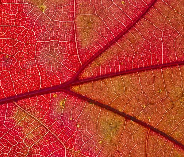 Photograph - Texas Red Oak Leaf Intricacy by Steven Schwartzman