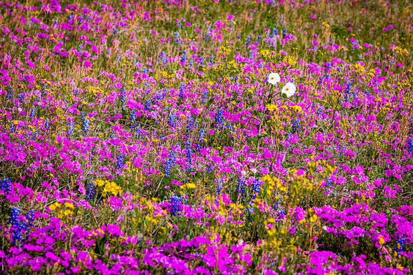 Photograph - Texas Roadside Wildflowers 667 by Melinda Ledsome