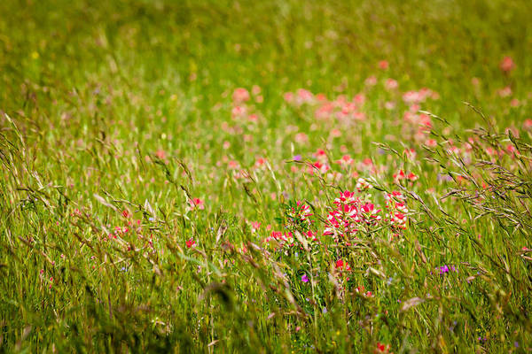 Photograph - Texas Roadside Wildflowers 679 by Melinda Ledsome