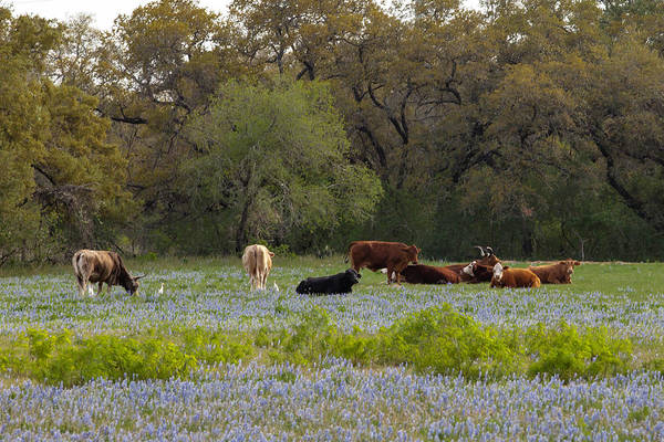 Photograph - Texas Roadside Wildflowers 682 by Melinda Ledsome