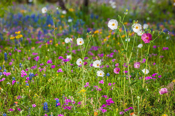 Photograph - Texas Roadside Wildflowers 731 by Melinda Ledsome