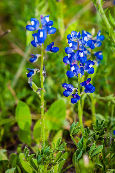 Photograph - Texas Roadside Wildflowers 735 by Melinda Ledsome