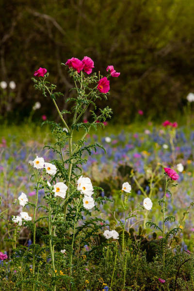 Photograph - Texas Roadside Wildflowers 738 by Melinda Ledsome