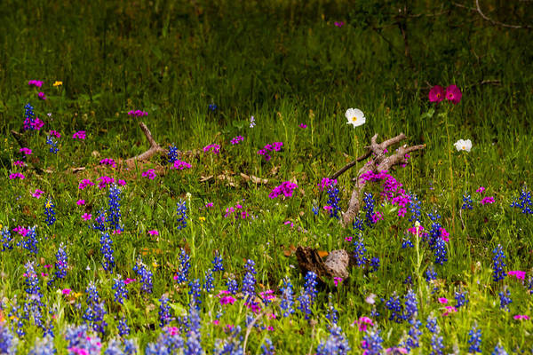 Photograph - Texas Roadside Wildflowers 742 by Melinda Ledsome