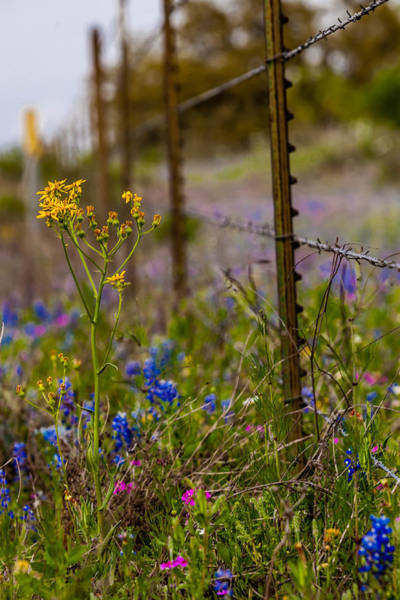 Photograph - Texas Roadside Wildflowers 747 by Melinda Ledsome