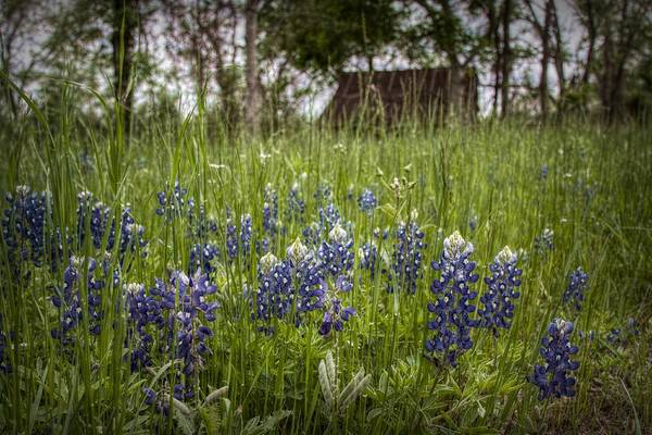 Texas Bluebonnet Digital Art - Texas State Flower by Linda Unger