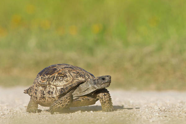 Tortoise Shell Photograph - Texas Tortoise (gopherus Berlandieri by Larry Ditto