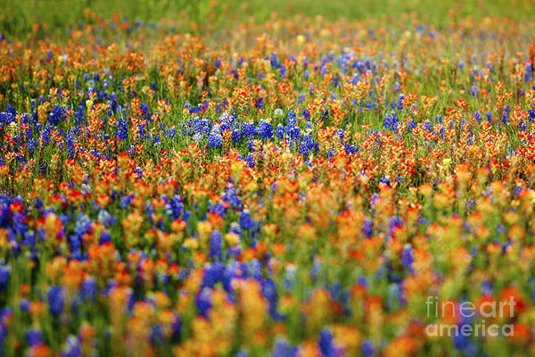 Wall Art - Photograph - Texas Wildflowers by Katya Horner