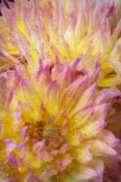 Softly Photograph - Textured Dahlia by Garry Gay