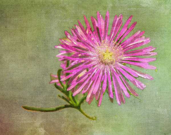 Photograph - Textured Daisy by Barry Weiss