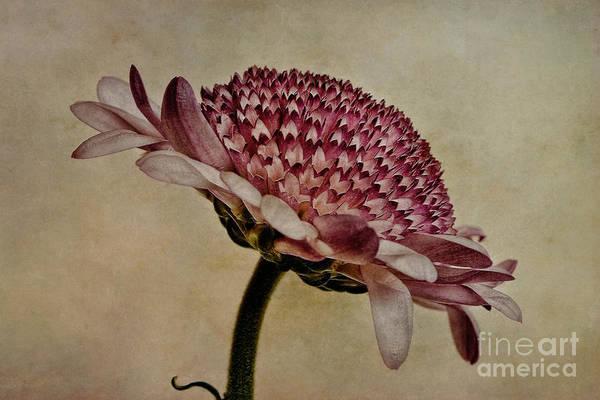 Asteraceae Photograph - Textured Mum by John Edwards