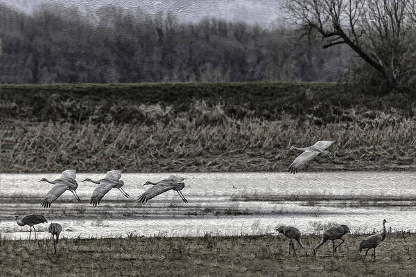 Photograph - Textured Sand Hill Cranes by Wes and Dotty Weber
