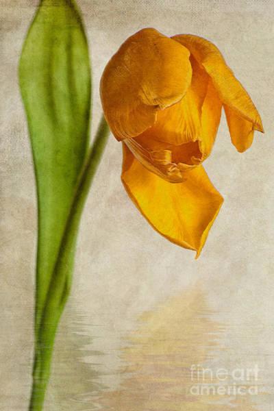 Tulipa Photograph - Textured Tulip by John Edwards