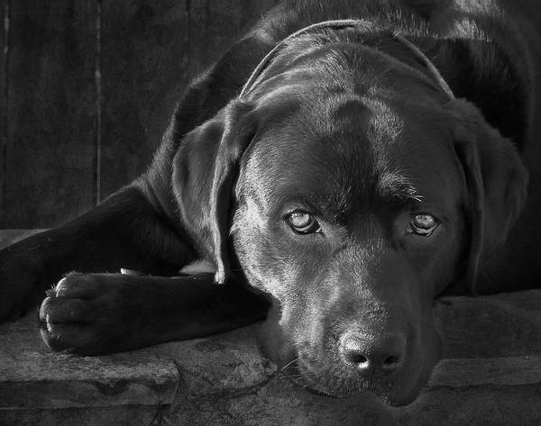 Black Lab Photograph - That Loving Gaze by Larry Marshall