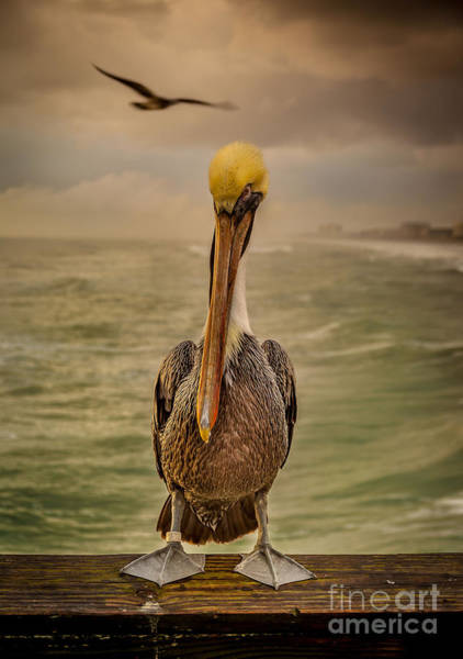 Wall Art - Photograph - That's Mr. Pelican To You by Steven Reed
