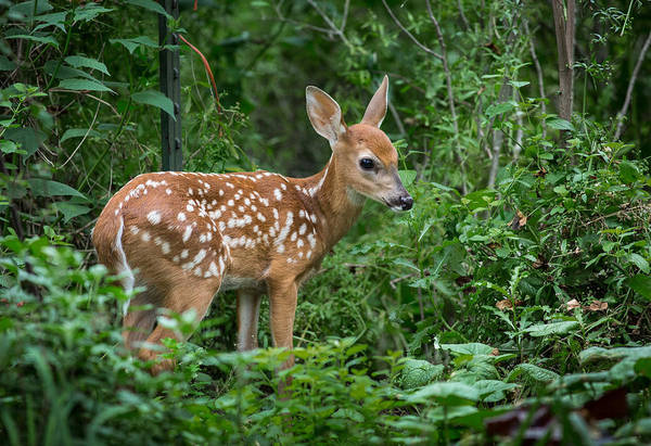 Photograph - The Adorable Fawn by Dale Kincaid