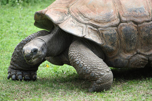 Photograph - The Aldabra Tortoise by Christine Adachi