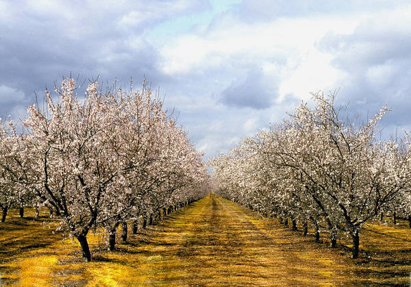 Photograph - The Almond Orchard by Matthew Pace