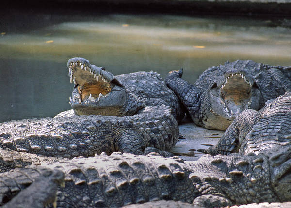 Photograph - Ma-904-the American Crocodile  by Ed  Cooper Photography