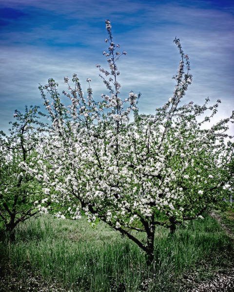 Photograph - The Apple Tree Blooms by William Havle