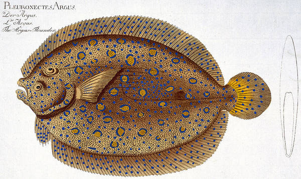 Ichthyology Wall Art - Painting - The Argus Flounder by Andreas Ludwig Kruger