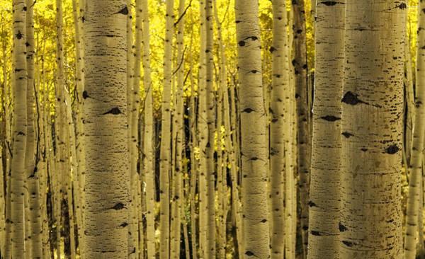The Aspen Tree Forest Art Print