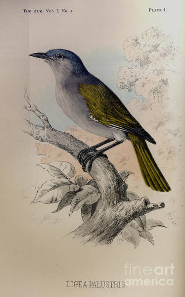 Drawing - The Auk -  Ligea Palustris by Celestial Images