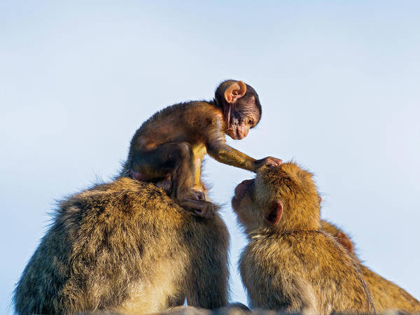 Looking Down Photograph - The Baby Macaque With Adults by Picture By Tambako The Jaguar