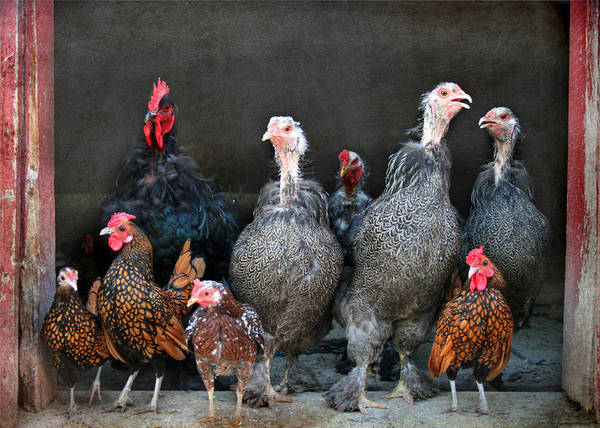 Rooster Photograph - The Barnyard Gang by Lori Deiter