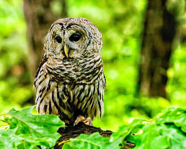 Photograph - The Barred Owl by Louis Dallara