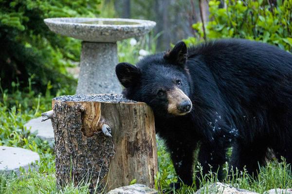The Bear Cub With An Itch Art Print