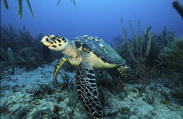 The Beauty Hawksbill Art Print