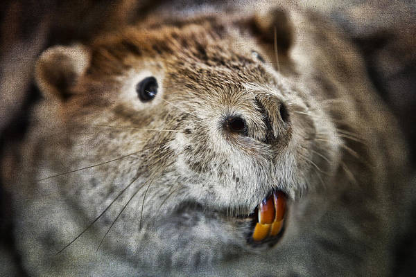 Photograph - The Beaver by Evie Carrier