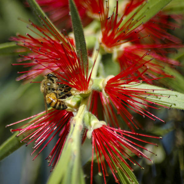 Photograph - The Bee And Bottlebrush by Carolyn Marshall