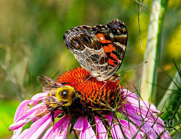 Photograph - The Bee And The Butterfly by Nick Zelinsky