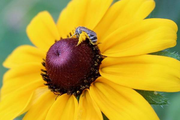 Digger Bee Photograph - The Bee's Knees by Elizabeth Sullivan