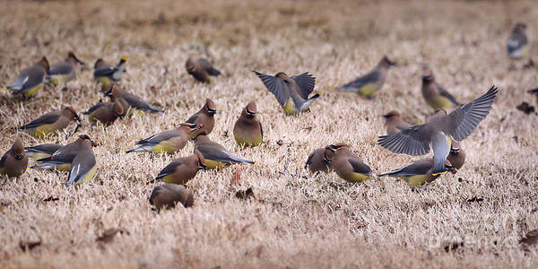 Photograph - The Berry Hunters - Cedar Waxwings Panorama by Jai Johnson