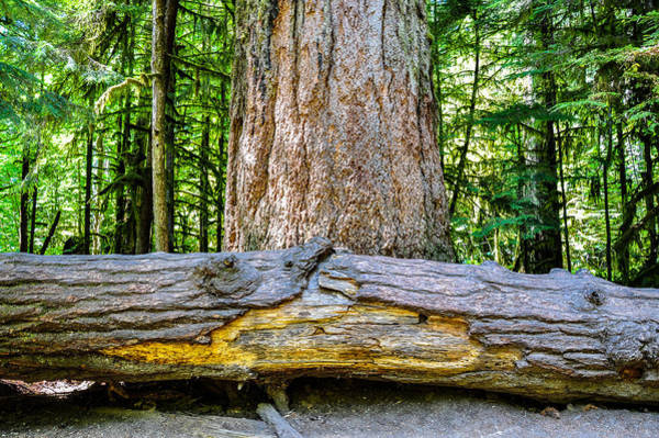 Photograph - The Big Tree Collection 1 by Roxy Hurtubise